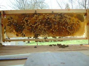 Bees often build drone comb on frames without worker sized foundation. Varroa mites are more attracted to drone comb and can be removed from hives after these cells are capped.