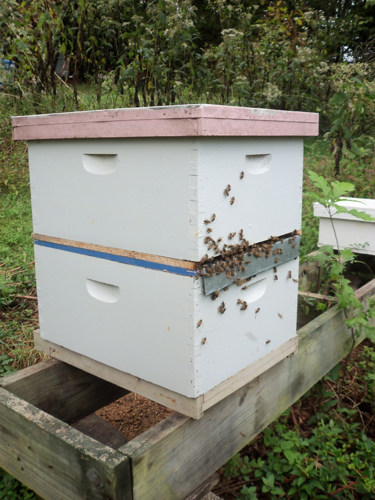 Here is a cell builder / queen bank using a cloak board. The metal insert is currently in, making the top box a separate colony without a laying queen. It is at the end of the season and now a new, virgin queen has been released in the top. The old queen is still laying in the bottom box, with the entrance open on the other side. In late October, when the top box is queen right (queen is mated and laying) and progressing well, the colony will be divided.