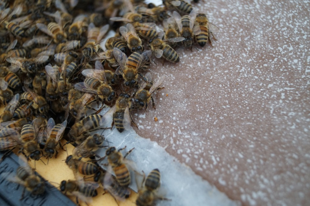Bees at the dinner table on Febuary 2nd, 2014. They have some dry sugar on them too as I just dispensed some nearby. Today it was 45 degrees, and we just thawed out after a week of below freezing temeratures.