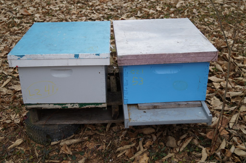 Pictured here is two colonies made from a single colony late in 2013. The right one is the one being feed emergency food, and the left one died. Its better to try and overwinter strong colonies that will be ready to take full advantage of the Febuary maple flow, than to invest in overwintering more, smaller colonies that need a great deal of help in Spring.