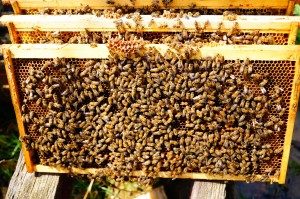 Frames of bees are easily estimated while checking brood for quality and disease.