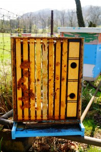 During late winter, this colony died out, leaving no dead bees in the hive, even though there was plenty of stored honey.