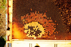The colony did not die from the lack of a queen. Here we can see the final attempt of the colony to raise more bees. The capped brood looked healthy, but there was not enough bees left to re-start in spring. When this colony started the previous spring, it was very productive and the queen looked just as well as many others as potential breeding stock. Obviously, things changed over time.