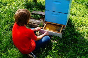 A drawer at the rear of the pollen trap allows the beekeeper to easily harvest it daily.