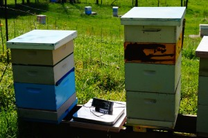 One colony without a pollen trap (pictured right) was fitted with an electronic hive monitor from Beeinformed.org. It records weight and external temperature every 15 minutes and graphs it over time. Pictured between the two colonies is the scale we used to measure starting and ending weights of each colony.