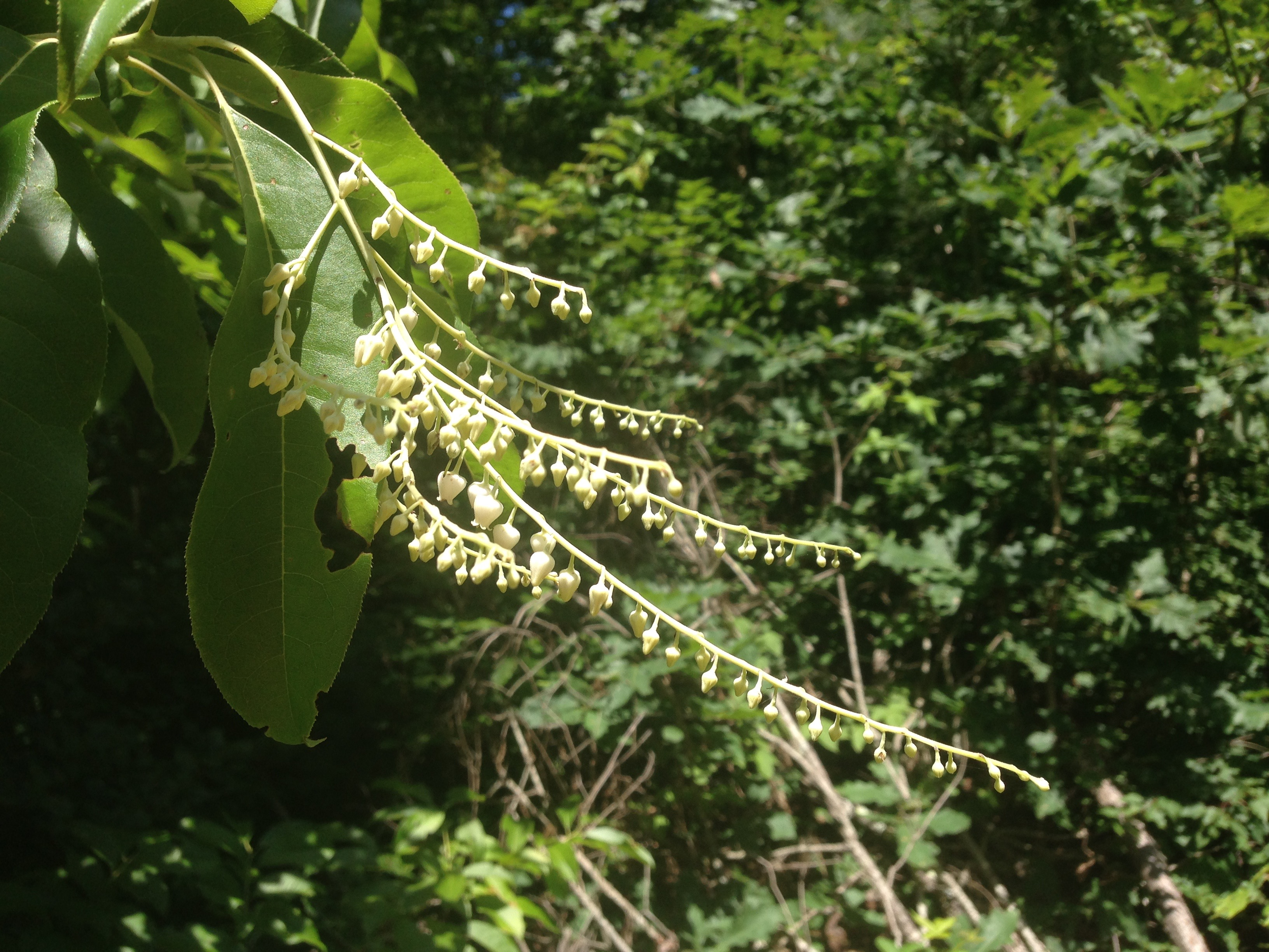 Sourwood tree in early flowering stage, June 29, 2016